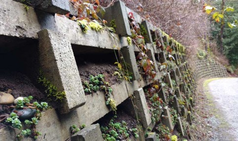 Retaining wall on the Interurban, greened over with moss sedum. Photo: Naomi Reichstein